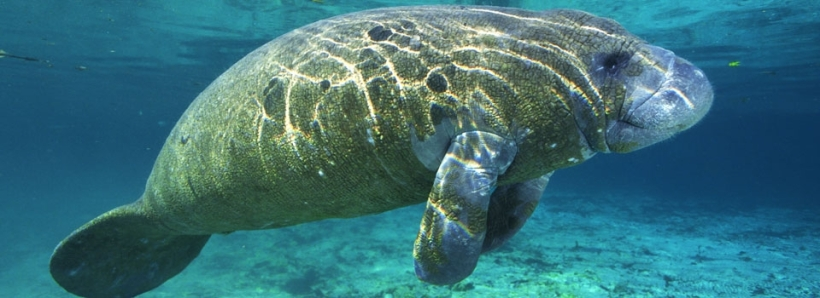 The Manatee - for the Tabernacle's fourth covering.jpg