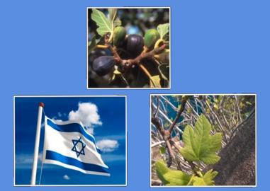44. ISRAELFIG OLIVE.PNG