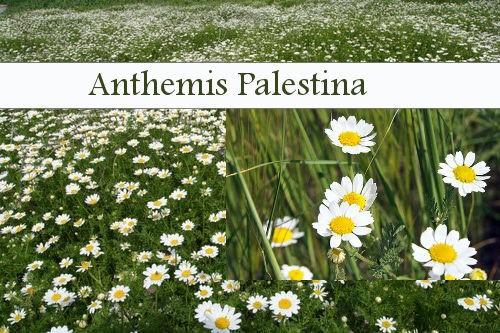 Anthemis Palestina.jpg
