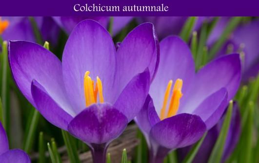 Colchicum Autumnale.jpg