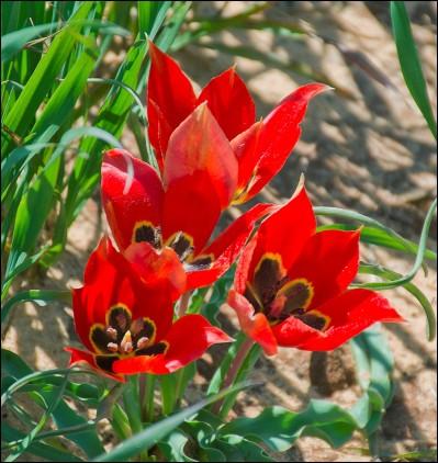 Tulipa Agenensis - Sharon Tulip.jpg